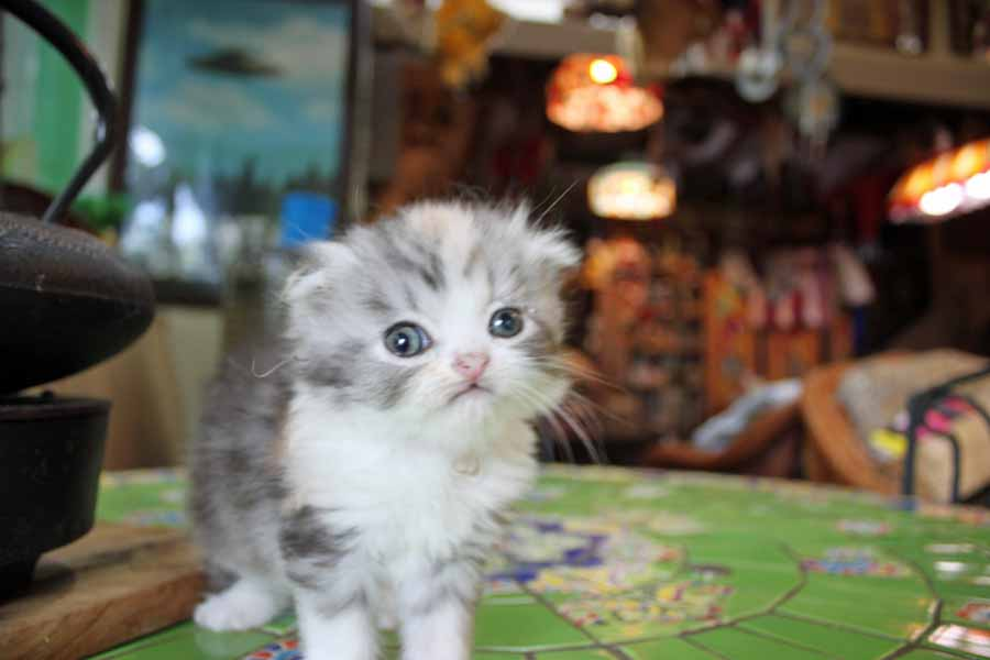 Scottish Fold Kittens for 'INDEPENDENCE DAY'