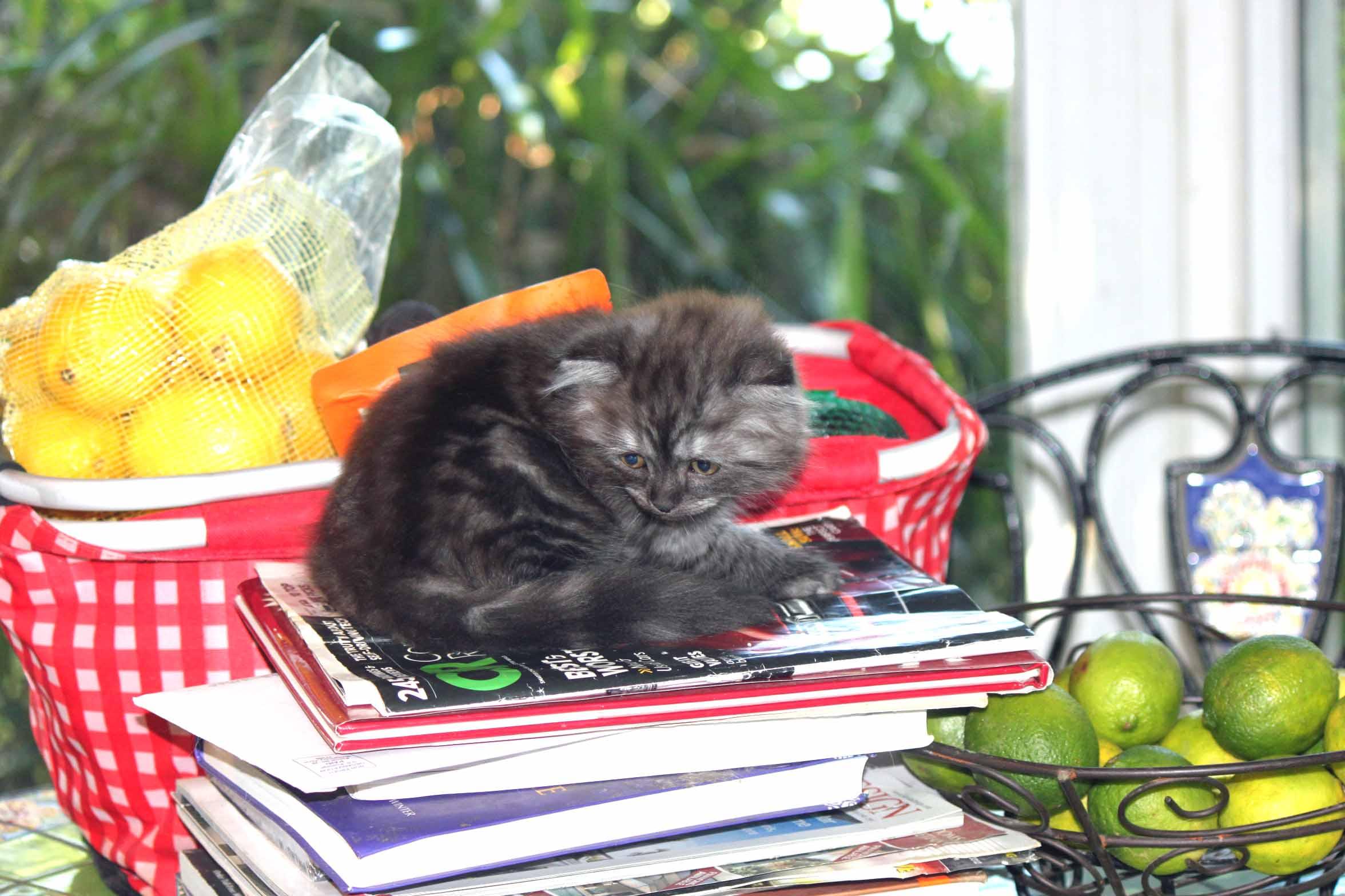 Scottish Fold Kittens for Memorial Day