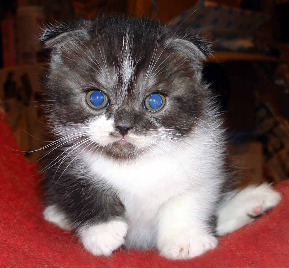 Montessori Scottish Fold Cats