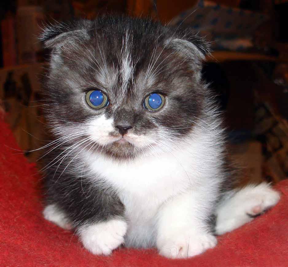 Some Favorite Montessori Scottish Fold Cats