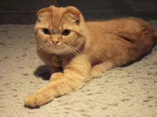 Pics For > Orange And White Scottish Fold Kittens
