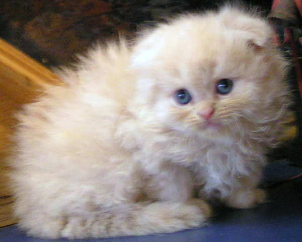 Scottish fold kittens for sale in florida