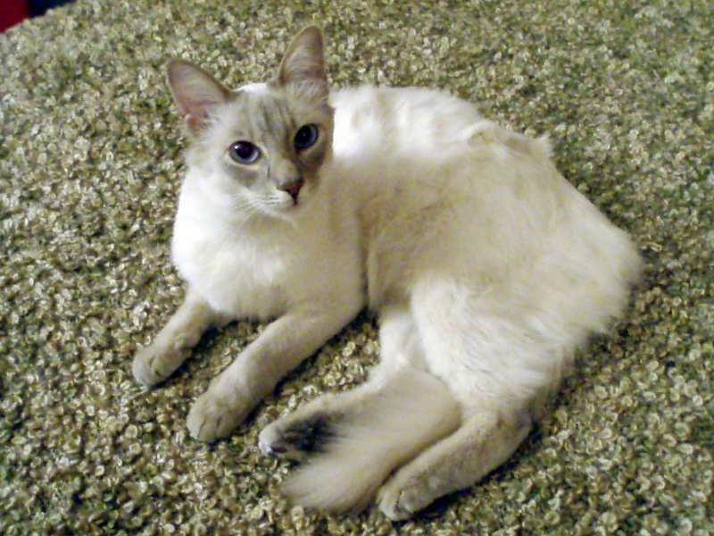 lavender cat - photo #28