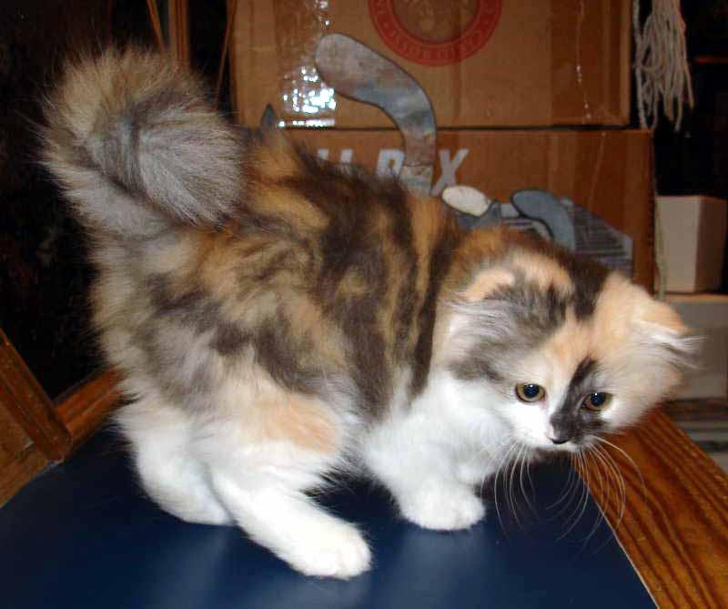 fluffy calico cat - photo #4