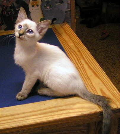 MONTESSORI BALINESE CATS